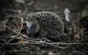 Picture grass, look, macro, black and white, hedgehog