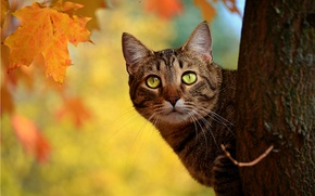 Picture autumn, cat, leaves, tree, yellow, trunk, maple, Peeps