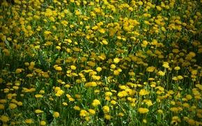 Picture Field, flowers, field, yellow, yellow, flowers