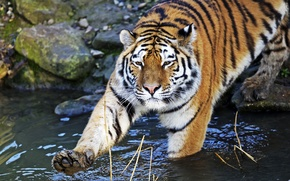 Picture cat, water, tiger, paw, bathing, Amur