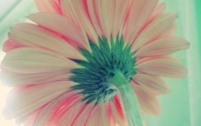 Wallpaper Flower, back, gerbera
