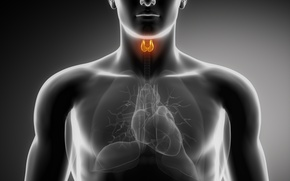 Picture heart, lungs, organs, thyroid