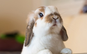 Picture look, rabbit, muzzle