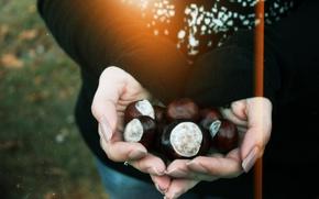 Picture autumn, hands, chestnuts