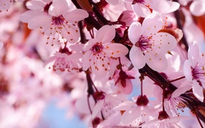 Picture flowers, cherry, branch, spring