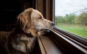 Picture look, each, dog, window