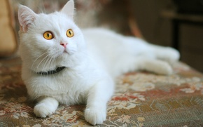 Picture white, kitty, orange eyes