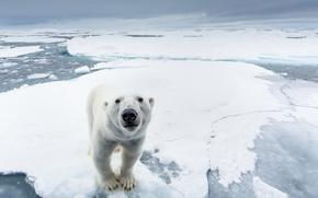 Picture ice, snow, nature, predator, North pole, polar bear