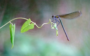 Picture summer, leaves, macro, dragonfly, insect, stem, Wallpaper from lolita777