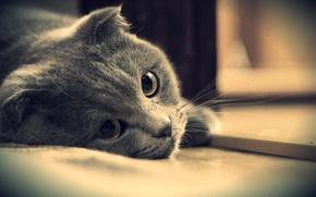 Picture eyes, cat, look, grey, British, Kote, British