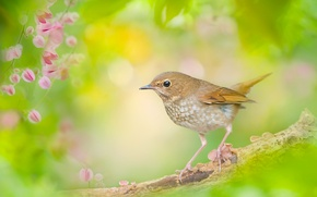 Picture bird, branch, Nightingale, bokeh, The Nightingale Whistler
