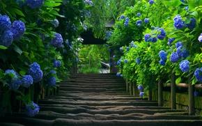 Picture nature, plant, Japan, ladder, hydrangea