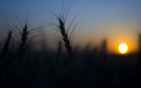 Picture wheat, field, the sun, nature, Sunset