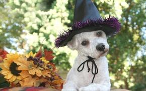 Picture autumn, leaves, dog, hat, black, white, Halloween, dog, bokeh, Wallpaper from lolita777