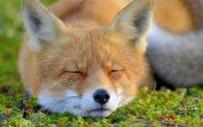 Wallpaper Fox, Fox, sleeping, face