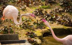 Picture birds, a couple, Flamingo, pink flamingos