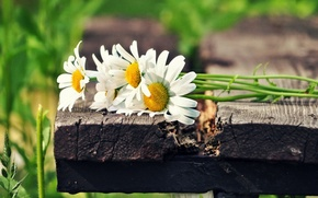 Picture white, the sun, flowers, green, background, widescreen, Wallpaper, chamomile, wallpaper, flowers, widescreen, flowers, background, full …