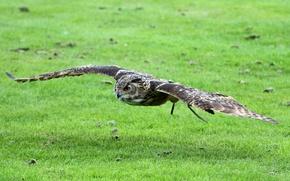 Picture greens, field, grass, bird, wings, feathers, flies, owl, Eurasian eagle owl