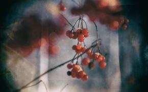 Picture berries, spring, red, Rowan, Kalina