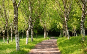 Picture road, forest, trees, spring, Sunny, birch