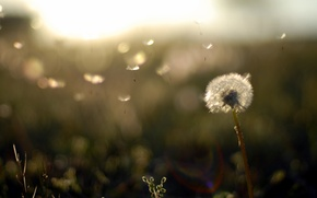 Picture field, sunset, nature, background, dandelion, Wallpaper, ease, plants, the evening, fuzzes, wallpapers