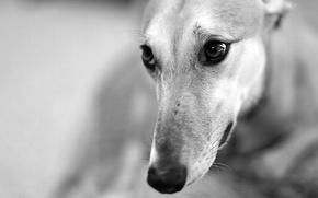 Wallpaper dog, look, face