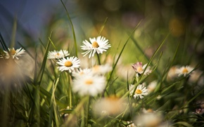 Picture field, summer, grass, flowers, background, Wallpaper, glade, chamomile, plants