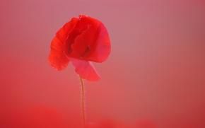 Picture flower, background, Mac, petals