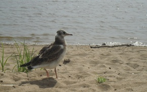 Picture sand, beach, bird, Seagull, sitting, Veliky Novgorod, without photoshop, a good picture