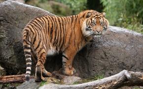 Picture tiger, stone, predator