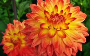Picture photo, Flowers, Orange, Two, Dahlias