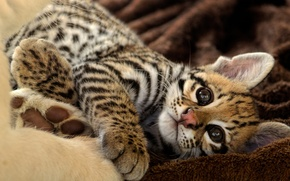 Picture cat, look, kitty, stay, ocelot