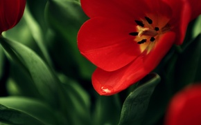 Wallpaper red, background, Mac, flower