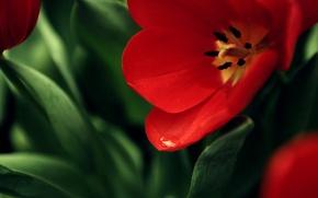 Wallpaper flower, red, background, Mac