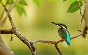 Picture leaves, tree, bird, branch, Kingfisher