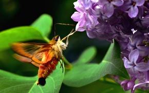 Picture green, summer, Canada, flower, nature, tree, birds, hornet, spring, purple, violet, wilderness, Sphinx butterfly
