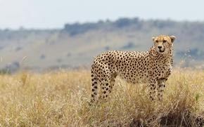 Picture grass, Cheetah, wild cat
