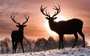 Picture winter, the sun, deer