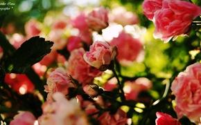Picture pink, roses, Ukraine
