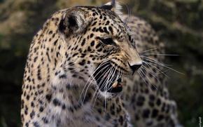 Picture mustache, face, anger, predator, rage, mouth, leopard, fangs, grin, evil, profile, aggression, wild cat, roar, …