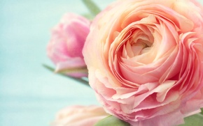 Picture photo, Flowers, Rose, Pink