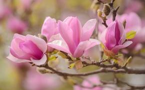 Wallpaper macro, pink, branch, spring, Magnolia