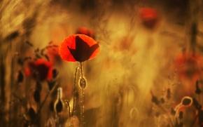 Picture field, macro, flowers, blur, Maki, red