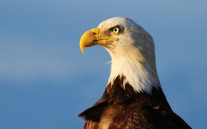 Picture sky, eye, sunlight, wildlife, bald eagle