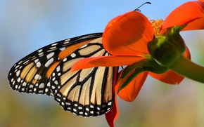 Picture flower, butterfly, wings, petals, monarch