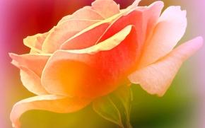 Picture flower, paint, rose, petals