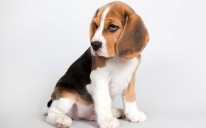 Picture cute, puppy, Beagle