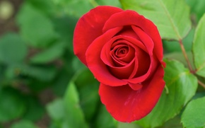 Picture greens, flower, leaves, red, rose, petals, Bud