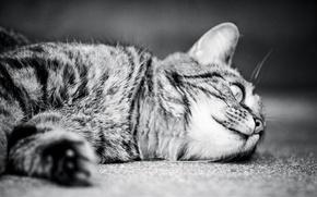 Wallpaper cat, monochrome, monochrome, cat, cat