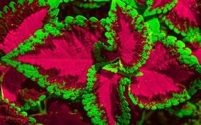 Picture flower, leaves, macro, Coleus
